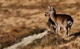 Sika Deer 0012