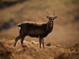 Sika Deer 0077