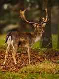 Stag 5334