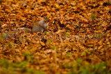 Grey Squirrel 5569
