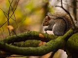 Grey Squirrel 5616