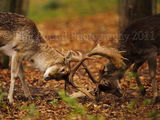 Fighting Stags 5698