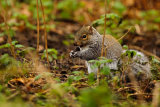 Grey Squirrel 5832