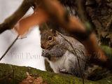 Grey squirrel 5896