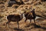 Sika Deer 9974