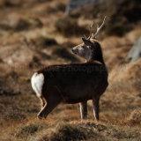 Sika Deer 9991