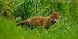 Fox Cub 4148