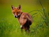 Fox Cub 4542