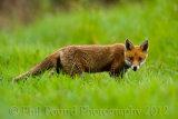 Fox Cub 5876