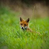 Fox Cub 5943