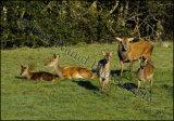 Red Deer 9039