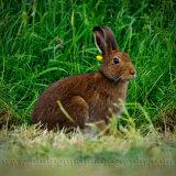 Hare 8612