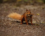 Red Squirrel 6142