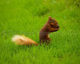 Red Squirrel 6161