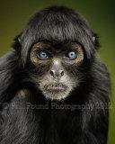 Colombian Black Spider Monkey 6613