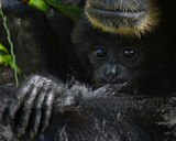 Baby Siamang Gibbon 6854