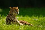 Cheetah 7640