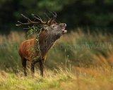 Red Deer Stag 3822