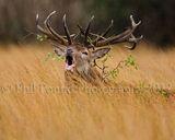 Red Deer Stag 4014