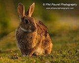 Rabbit 7487