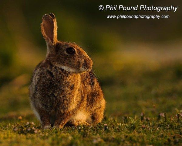 Rabbit 7500