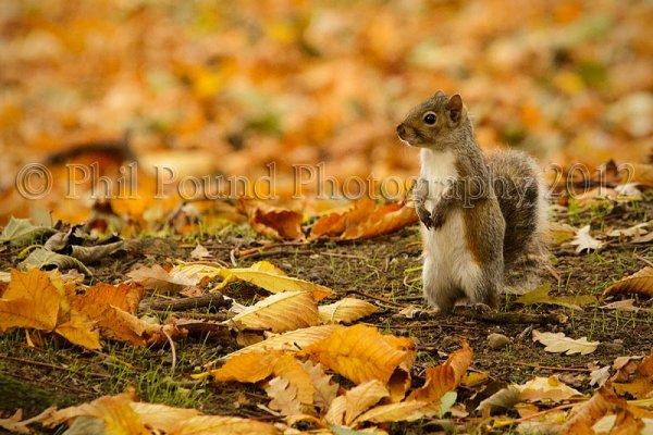 Grey Squirrel 6824