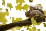 Grey Squirrel 6995