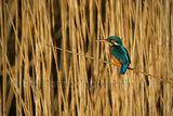 Kingfisher 9192