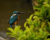 Kingfisher 0935