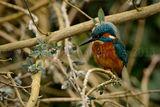 Kingfisher 0978