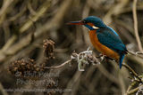 Kingfisher 2855