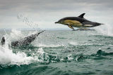 Dolphin 3184
