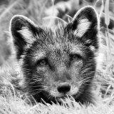 Artic Fox 0369