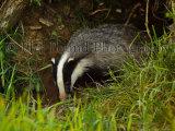 Badger 4076