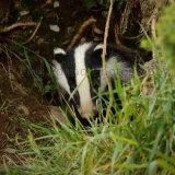 Badger 4149