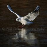 Black Headed Gull 3913