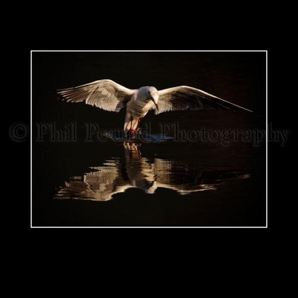 Black Headed Gull 8892