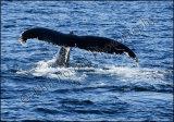 Boomerang the Humpback Whale 0010
