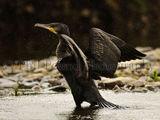 Cormorant 2752