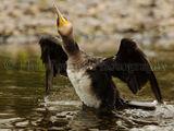 Cormorant 2872