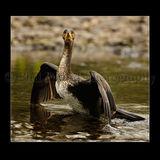 Cormorant 2884