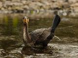 Cormorant 2942