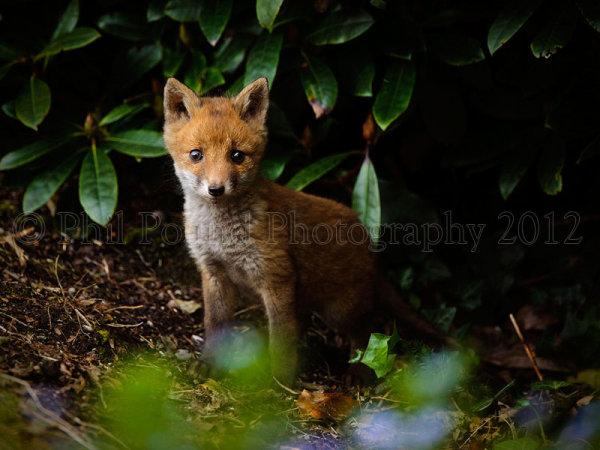 Fox Cub 2453