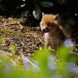 Fox Cub 3456