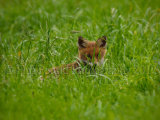 Fox Cub 6488
