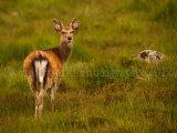 Sika Deer 0830
