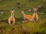 Sika Deer 1175