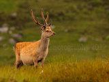 Sika Deer 1194