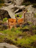 Sika Deer 1372