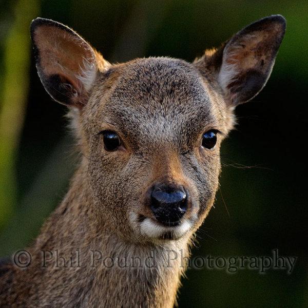 Deer 2949